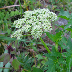 Flowers: Angelica lucida. ~ By Arthur Haines. ~ Copyright © 2017. ~ arthurhaines[at]wildblue.net