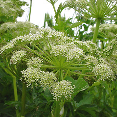 Flowers: Angelica lucida. ~ By Glen Mittelhauser. ~ Copyright © 2017 Glen Mittelhauser. ~ www.mainenaturalhistory.org