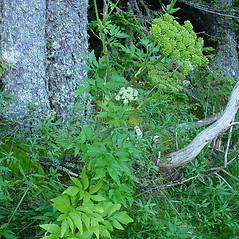 Plant form: Angelica lucida. ~ By Glen Mittelhauser. ~ Copyright © 2018 Glen Mittelhauser. ~ www.mainenaturalhistory.org