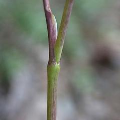Stems: Angelica venenosa. ~ By John Gwaltney. ~ Copyright © 2020 John Gwaltney. ~ southeasternflora.com ~ Southeastern Flora - www.southeasternflora.com/