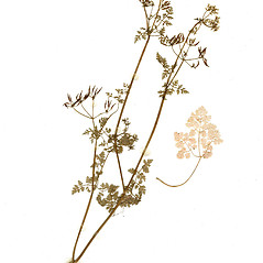 Plant form: Anthriscus cerefolium. ~ By CONN Herbarium. ~ Copyright © 2017 CONN Herbarium. ~ Requests for image use not currently accepted by copyright holder ~ U. of Connecticut Herbarium - bgbaseserver.eeb.uconn.edu/