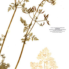 Leaves: Anthriscus cerefolium. ~ By CONN Herbarium. ~ Copyright © 2019 CONN Herbarium. ~ Requests for image use not currently accepted by copyright holder ~ U. of Connecticut Herbarium - bgbaseserver.eeb.uconn.edu/
