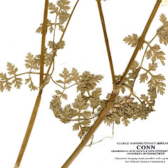 Stems: Anthriscus cerefolium. ~ By CONN Herbarium. ~ Copyright © 2018 CONN Herbarium. ~ Requests for image use not currently accepted by copyright holder ~ U. of Connecticut Herbarium - bgbaseserver.eeb.uconn.edu/