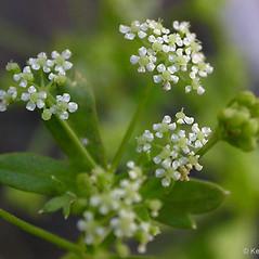 Flowers: Apium graveolens. ~ By Keir Morse. ~ Copyright © 2019 Keir Morse. ~ www.keiriosity.com ~ www.keiriosity.com