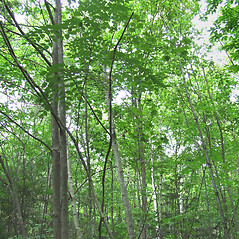 Plant form: Aralia elata. ~ By Elizabeth Farnsworth. ~ Copyright © 2020 New England Wild Flower Society. ~ Image Request, images[at]newenglandwild.org