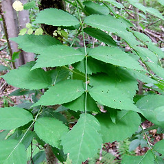 Leaves: Aralia elata. ~ By Elizabeth Farnsworth. ~ Copyright © 2020 New England Wild Flower Society. ~ Image Request, images[at]newenglandwild.org
