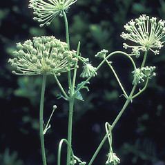 Flowers: Aralia hispida. ~ By Albert Bussewitz. ~ Copyright © 2019 New England Wild Flower Society. ~ Image Request, images[at]newenglandwild.org