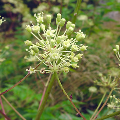 Flowers: Aralia hispida. ~ By Glen Mittelhauser. ~ Copyright © 2018 Glen Mittelhauser. ~ www.mainenaturalhistory.org