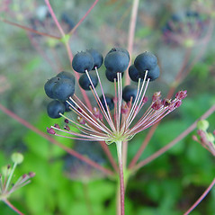 Fruits: Aralia hispida. ~ By Arthur Haines. ~ Copyright © 2018. ~ arthurhaines[at]wildblue.net
