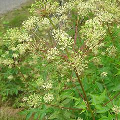 Plant form: Aralia hispida. ~ By Glen Mittelhauser. ~ Copyright © 2019 Glen Mittelhauser. ~ www.mainenaturalhistory.org