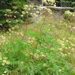 Plant form: Aralia hispida. ~ By Glen Mittelhauser. ~ Copyright © 2018 Glen Mittelhauser. ~ www.mainenaturalhistory.org