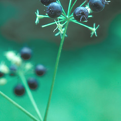 Fruits: Aralia nudicaulis. ~ By Albert Bussewitz. ~ Copyright © 2017 New England Wild Flower Society. ~ Image Request, images[at]newenglandwild.org