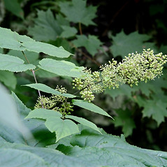 Flowers: Aralia racemosa. ~ By Arieh Tal. ~ Copyright © 2017 Arieh Tal. ~ http://botphoto.com/ ~ Arieh Tal - botphoto.com
