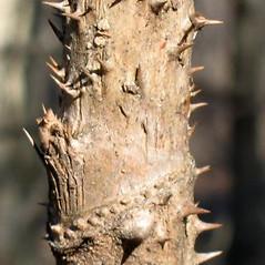 Bark: Aralia spinosa. ~ By Alexey Zinovjev. ~ Copyright © 2018. ~ webmaster[at]salicicola.com ~ Salicicola - www.salicicola.com/