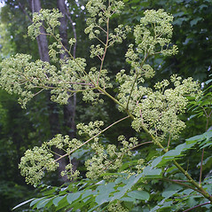 Flowers: Aralia spinosa. ~ By Steven Baskauf. ~ Copyright © 2018 CC-BY-NC-SA. ~  ~ Bioimages - www.cas.vanderbilt.edu/bioimages/frame.htm