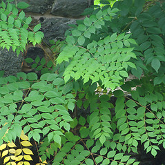 Plant form: Aralia spinosa. ~ By William Cullina. ~ Copyright © 2018 William Cullina. ~ bill[at]williamcullina.com