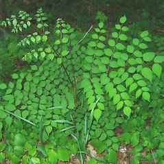 Leaves: Aralia spinosa. ~ By Alexey Zinovjev. ~ Copyright © 2019. ~ webmaster[at]salicicola.com ~ Salicicola - www.salicicola.com/