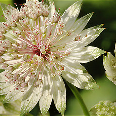 Flowers: Astrantia major. ~ By Amadej Trnkoczy. ~ Copyright © 2017 Amadej Trnkoczy. ~ amadej.trnkoczy[at]siol.net ~ CalPhotos - calphotos.berkeley.edu/flora/