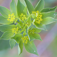 Flowers: Bupleurum rotundifolium. ~ By Steven Baskauf. ~ Copyright © 2017 CC-BY-NC-SA. ~  ~ Bioimages - www.cas.vanderbilt.edu/bioimages/frame.htm