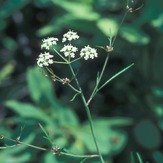 Flowers: Cicuta bulbifera. ~ By John Lynch. ~ Copyright © 2018 New England Wild Flower Society. ~ Image Request, images[at]newenglandwild.org