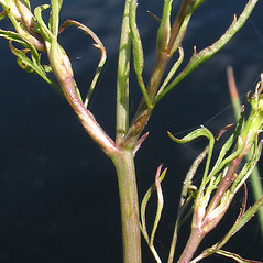 Plant form: Cicuta bulbifera. ~ By Marilee Lovit. ~ Copyright © 2020 Marilee Lovit. ~ lovitm[at]gmail.com