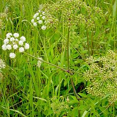 Plant form: Cicuta maculata. ~ By Glen Mittelhauser. ~ Copyright © 2017 Glen Mittelhauser. ~ www.mainenaturalhistory.org