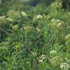 Plant form: Cicuta maculata. ~ By John Lynch. ~ Copyright © 2017 New England Wild Flower Society. ~ Image Request, images[at]newenglandwild.org