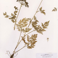 Plant form: Conioselinum chinense. ~ By CONN Herbarium. ~ Copyright © 2018 CONN Herbarium. ~ Requests for image use not currently accepted by copyright holder ~ U. of Connecticut Herbarium - bgbaseserver.eeb.uconn.edu/