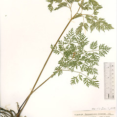 Plant form: Conioselinum chinense. ~ By The Herbarium of The Morton Arboretum (MOR). ~ Copyright © 2017 The Morton Arboretum. ~ Ed Hedborn, The Morton Arboretum ~ The Herbarium of The Morton Arboretum