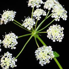 Flowers: Conium maculatum. ~  ~ Copyright © 2017. ~