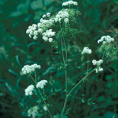Plant form: Conium maculatum. ~ By John Lynch. ~ Copyright © 2019 New England Wild Flower Society. ~ Image Request, images[at]newenglandwild.org