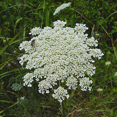 Flowers: Daucus carota. ~ By Arthur Haines. ~ Copyright © 2020. ~ arthurhaines[at]wildblue.net