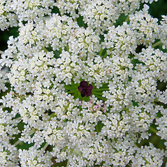 Flowers: Daucus carota. ~ By Dawn Dentzer. ~ Copyright © 2017. ~ dawndentzer[at]gmail.com