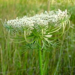 Flowers: Daucus carota. ~ By Glen Mittelhauser. ~ Copyright © 2019 Glen Mittelhauser. ~ www.mainenaturalhistory.org