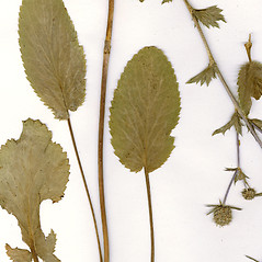 Leaves: Eryngium planum. ~ By CONN Herbarium. ~ Copyright © 2019 CONN Herbarium. ~ Requests for image use not currently accepted by copyright holder ~ U. of Connecticut Herbarium - bgbaseserver.eeb.uconn.edu/