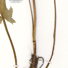 Stems: Eryngium planum. ~ By CONN Herbarium. ~ Copyright © 2019 CONN Herbarium. ~ Requests for image use not currently accepted by copyright holder ~ U. of Connecticut Herbarium - bgbaseserver.eeb.uconn.edu/