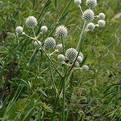 Flowers: Eryngium yuccifolium. ~ By Paul S. Drobot. ~ Copyright © 2019 Paul S. Drobot. ~ www.plantstogrow.com, www.plantstockphotos.com ~ Robert W. Freckmann Herbarium, U. of Wisconsin-Stevens Point
