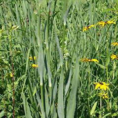 Plant form: Eryngium yuccifolium. ~ By Keir Morse. ~ Copyright © 2019 Keir Morse. ~ www.keiriosity.com ~ www.keiriosity.com