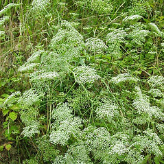 Plant form: Falcaria vulgaris. ~ By Michael Hassler. ~ Copyright © 2018 Michael Hassler. ~ Requests for image use not currently accepted by copyright holder ~ Flowering Plants of Pennsylvania - www.botanik.uni-karlsruhe.de/FloraKA/PA/list.php