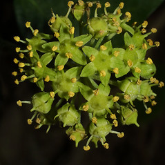 Flowers: Hedera helix. ~ By Steven Baskauf. ~ Copyright © 2019 CC-BY-NC-SA. ~  ~ Bioimages - www.cas.vanderbilt.edu/bioimages/frame.htm