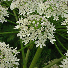 Flowers: Heracleum mantegazzianum. ~ By Glen Mittelhauser. ~ Copyright © 2019 Glen Mittelhauser. ~ www.mainenaturalhistory.org