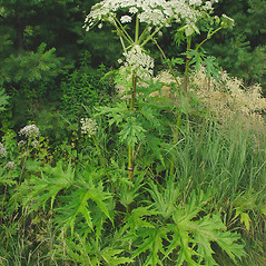 Plant form: Heracleum mantegazzianum. ~ By Glen Mittelhauser. ~ Copyright © 2019 Glen Mittelhauser. ~ www.mainenaturalhistory.org