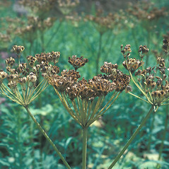 Fruits: Heracleum maximum. ~ By John Lynch. ~ Copyright © 2019 New England Wild Flower Society. ~ Image Request, images[at]newenglandwild.org