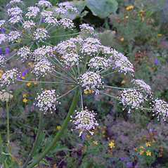 Flowers: Heracleum sphondylium. ~ By Arthur Haines. ~ Copyright © 2020. ~ arthurhaines[at]wildblue.net