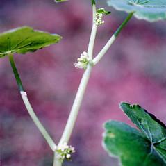 Stems: Hydrocotyle americana. ~ By Carol Levine. ~ Copyright © 2020 Carol Levine. ~ carolflora[at]optonline.net