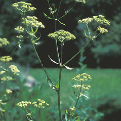 Plant form: Levisticum officinale. ~ By John Lynch. ~ Copyright © 2018 New England Wild Flower Society. ~ Image Request, images[at]newenglandwild.org
