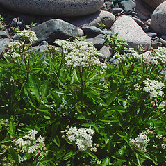 Plant form: Ligusticum scoticum. ~ By Arthur Haines. ~ Copyright © 2018. ~ arthurhaines[at]wildblue.net