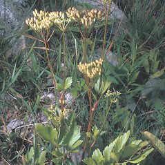Plant form: Ligusticum scoticum. ~ By Frank Bramley. ~ Copyright © 2018 New England Wild Flower Society. ~ Image Request, images[at]newenglandwild.org