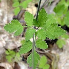 Leaves: Osmorhiza berteroi. ~ By Keir Morse. ~ Copyright © 2020 Keir Morse. ~ www.keiriosity.com ~ www.keiriosity.com