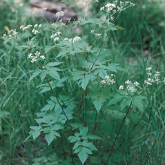 Plant form: Osmorhiza claytonii. ~ By Frank Bramley. ~ Copyright © 2018 New England Wild Flower Society. ~ Image Request, images[at]newenglandwild.org